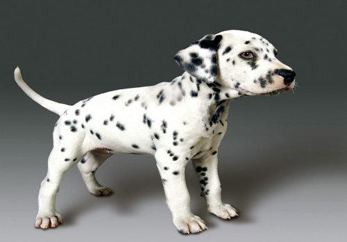 斑点狗能力的培养