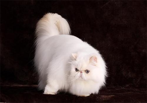 如何选择适合喜马拉雅猫使用的沐浴液