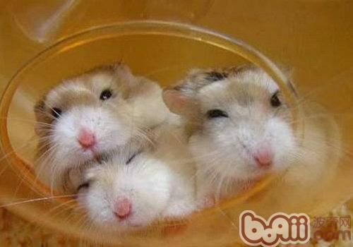 diy仓鼠笼_diy仓鼠笼设计图,仓鼠合笼血腥图图片; 娇小可爱型:仓鼠