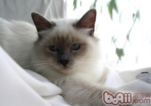 比如当猫咪害怕时,它们的耳朵会贴到自己的脑后