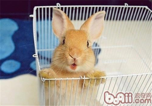 正确理解宠物兔乱啃的行为