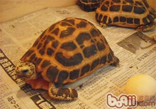 如何判斷陸龜是否患有結石病