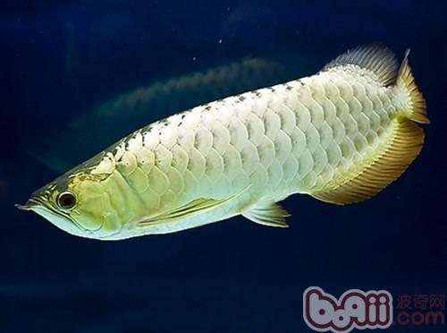 银龙鱼和小型鱼混养的注意事