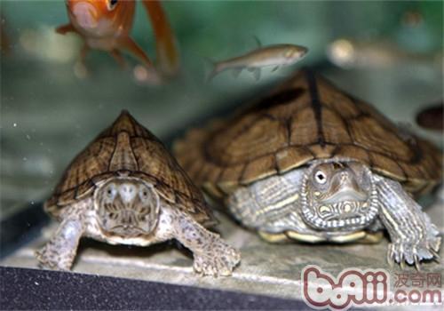 剃刀龟怎样分公母图片