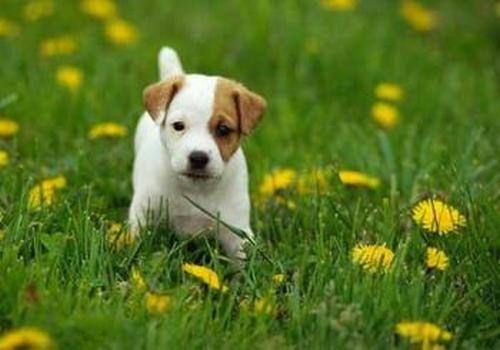 狗狗品种_可爱宠物狗品种大全-页7-波奇网百科大全