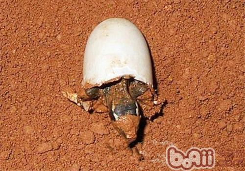 龟的性别取决于孵化的环境温度