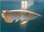 四大龙鱼拒食原因分析