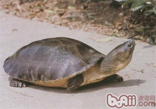 CB和WC在养龟中的含义