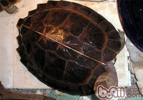 怀孕期间可以养龟吗?