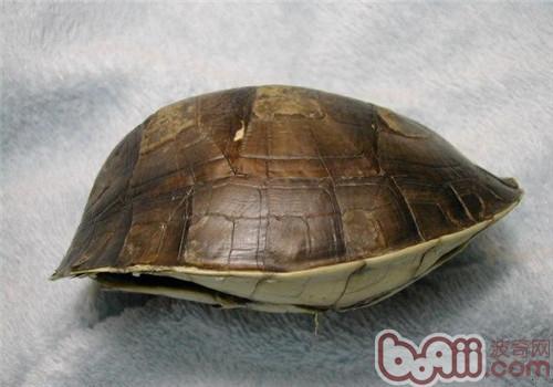 闭壳龟名字的由来
