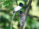 寿带鸟的饲养环境要求