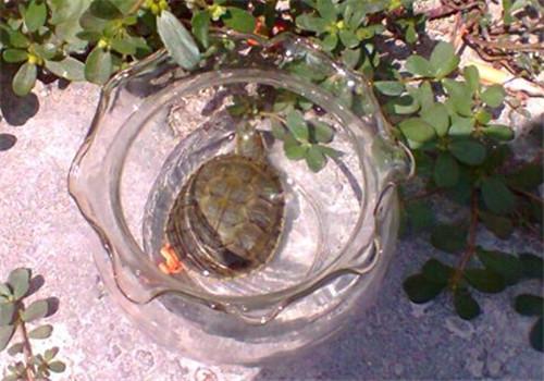 小容器饲养水龟勿忘清洗工作