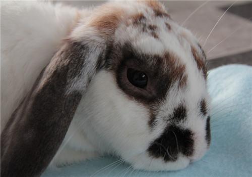 繁殖母兔难产防治