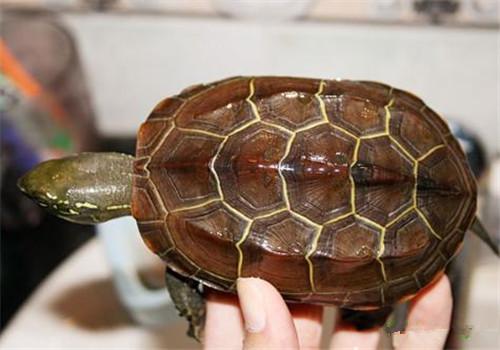 饲养草龟时需要注意的问题