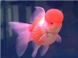 观赏鱼一般性胀肚的处理方法