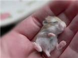 影响仓鼠寿命的几大因素