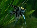 熊貓燕魚的繁殖要點
