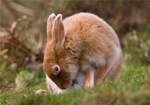 野兔人工仿生驯养技术