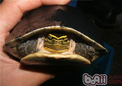 如何治疗水龟的肺炎?