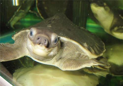 纯水栖龟要怎么养?