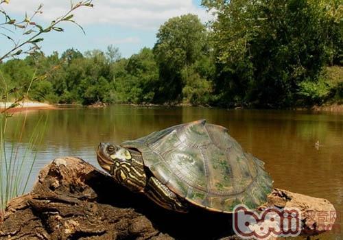 地图龟吃什么食物最好