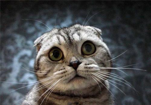 虎斑折耳貓配種的問題