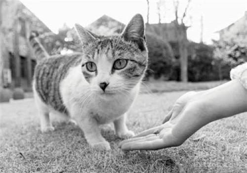 貓咪絕育手術的注意事項