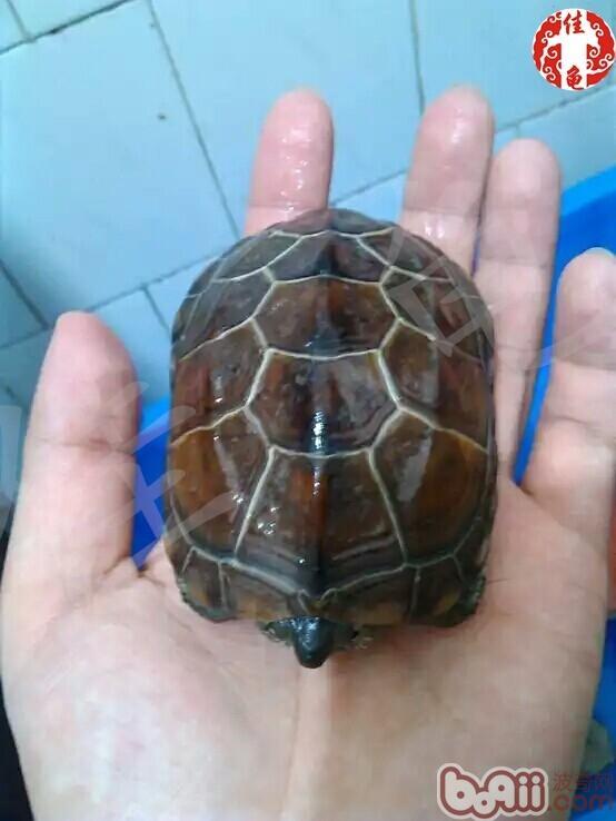 小偏方快速治疗龟的真菌病