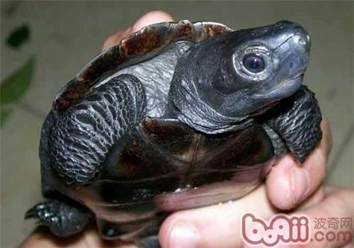 怎样区分真假墨龟