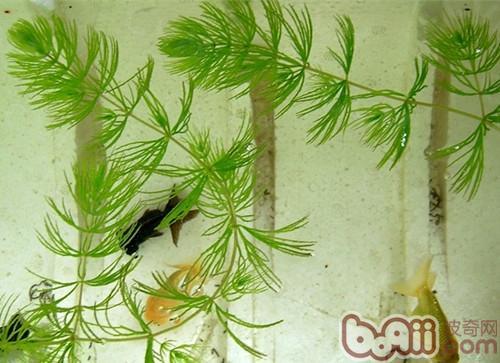 60厘米有多长_水族造景之金水藻|水族造景-波奇网百科大全