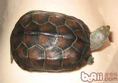 草龟怎么分公母?