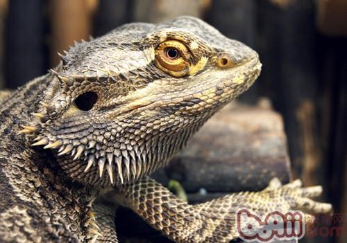 如何为蜥蜴选择合适的饲养箱|爬虫环境-波奇网百科大全