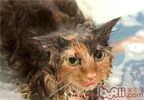 关上浴室门,将猫咪局限在浴缸,大水桶,墙角洗澡,以免乱跑.
