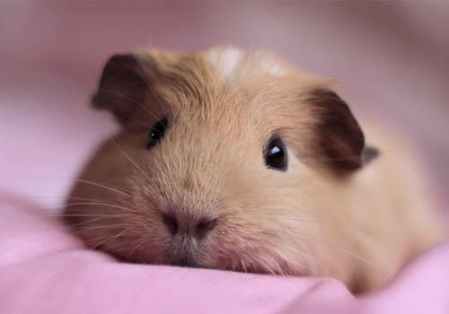 荷兰猪有传染病吗