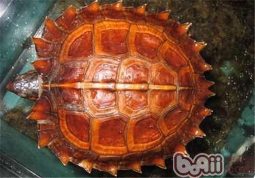 养龟如何维持水质,避免腐皮