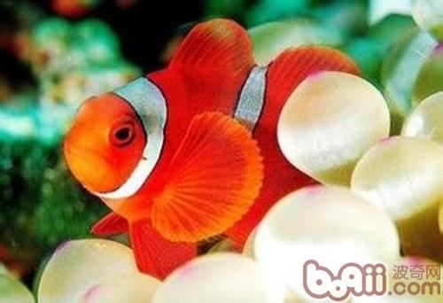 如何饲养双带小丑鱼
