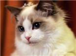 布偶猫美容应该注意些什么