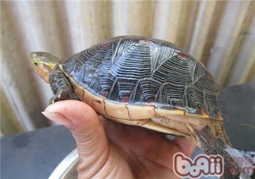 黄缘盒龟的人工饲养方法