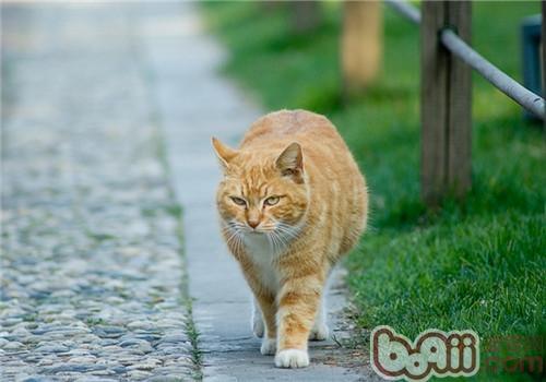 如果你看过日本动画片《猫的恩报》,你就一定奇怪为什么猫咪会将死