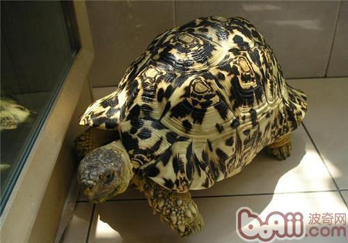 豹龟的饲养心得分享