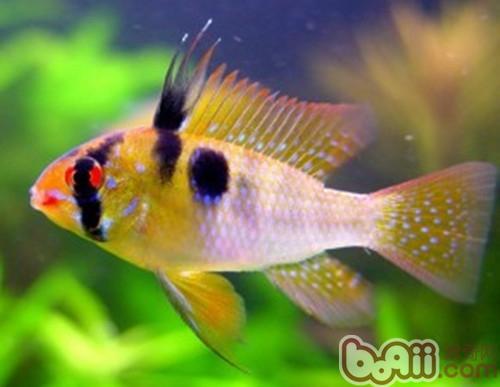荷兰凤凰鱼的繁殖要点