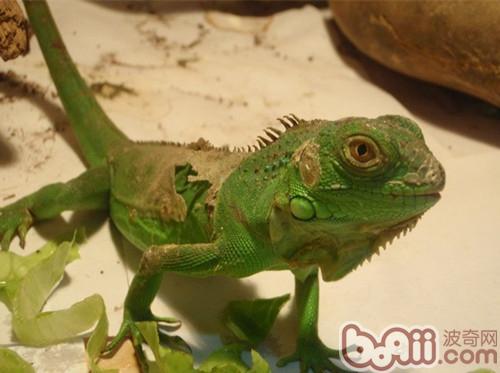 如何预防绿鬣蜥因食物出现的疾病