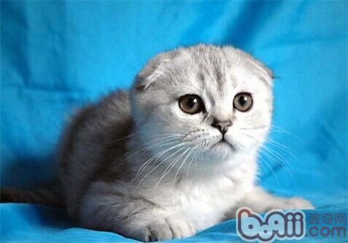 给猫咪清洁耳朵的正确方法