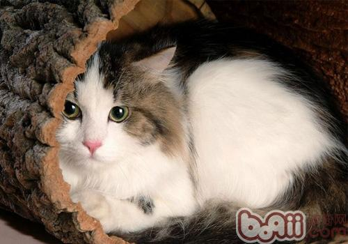 布偶貓的形態特征