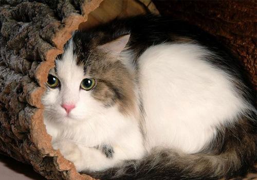 大家把大头圆脸作为判断猫咪是否可爱的标准,不过随着布偶猫的横空