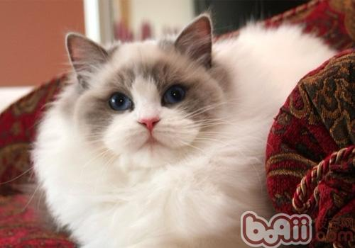 布偶貓養護注意事項