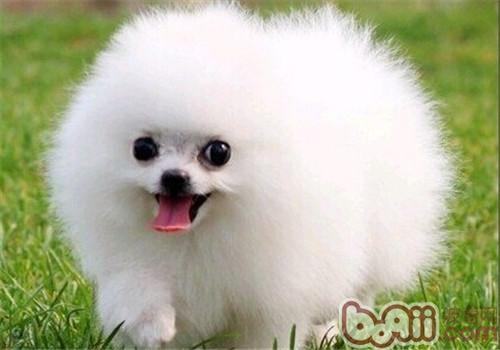 博美犬的品種簡介