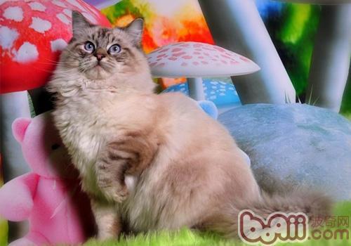 布偶猫的喂食要求有哪些