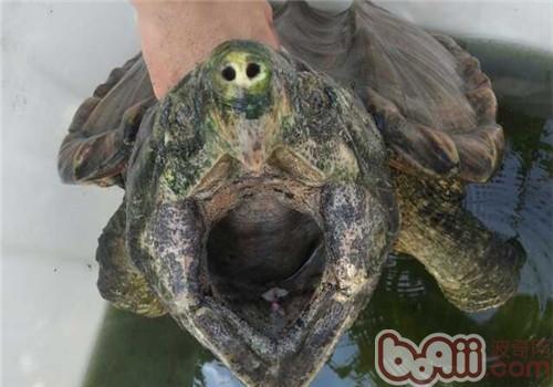 成龟运输需要注意的问题