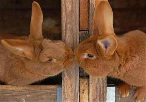 怎样训练兔子与你接吻?